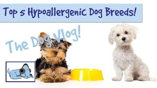 Top 5 Hypoallergenic Dog Breeds!
