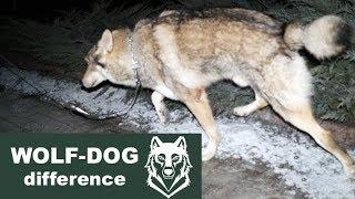 WOLF AND DOG. Difference #1    Отличие волка от собаки #1