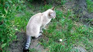 Котики в огороде серия 1 - Лукас кого-то ловит усердно! Тайские кошки - это чудо! Funny Cats