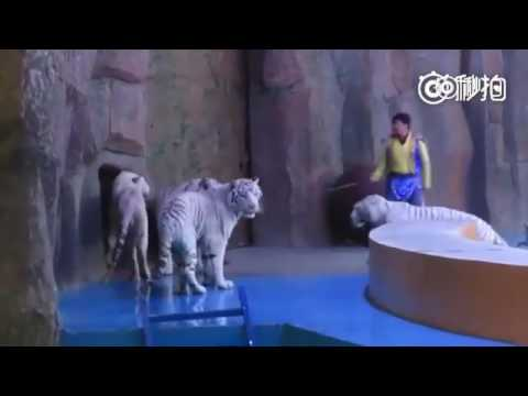Tiger abuse caught on camera at Hangzhou zoo