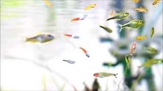 小さいサイズの熱帯魚を中心とした混泳水槽です。 ・ダイヤモンドネオン...