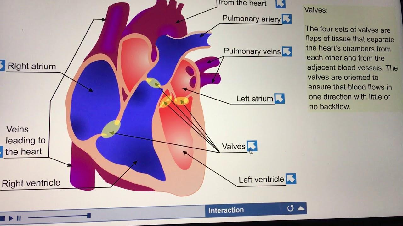 Anatomy of the Heart ( Interactive animation) - YouTube