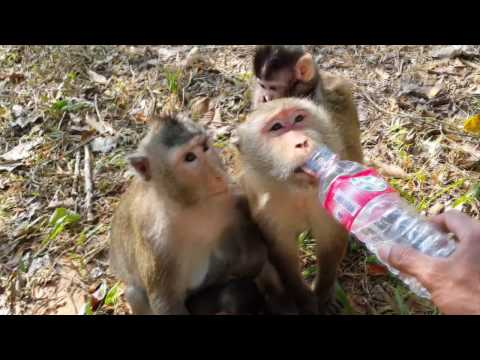 Infants monkey thrown down from the tree ,Mother monkey drinking water