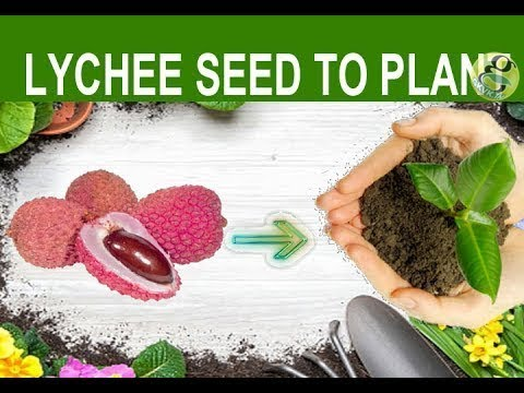 Lychee Seed Germination | How to Grow Lychee Plant From Seed | Germinate Litchi