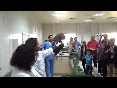 Feeding the Falcon at Abu Dhabi Falcon Hospital