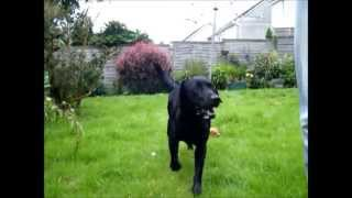 Cash Detection + Dog Training + Labrador + Scent Work + Detection  + Searching + Day 1