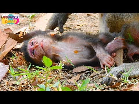 OMG! Duke newborn of Dutches slow motion to weakest | Pity Duke worry of weakness |Monkey Daily 2397