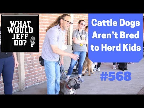 cattle-dogs-aren't-bred-to-herd-kids-#568
