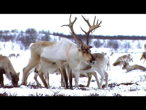 Norway, The Twilignt of the Reindeer