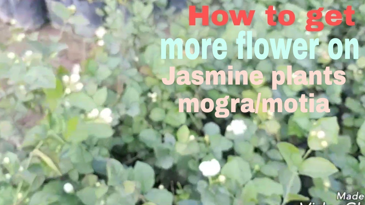 How To Get More Flower On Jasmine Plants Mogramotia Hindi Youtube