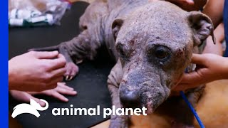 Sweet Stray Dog Has A Nasty Skin Infection   Pit Bulls & Parolees