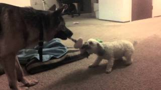German Shepherd Playing With A Poodle! Dunder