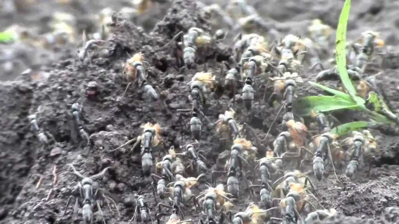 Fire Ants Eating Termites