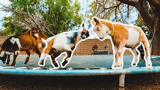 This is what happens when you give GOATS a TRAMPOLINE 😬 😂