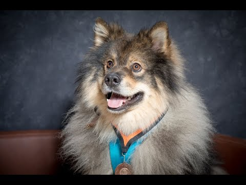 Finn - Finnish Lapphund - 2 Weeks Residential Dog Training