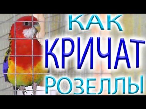 Активность попугаев РОЗЕЛЛ кричат бесятся