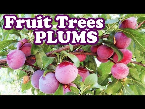 Dwarf Santa Rosa Plum Tree - Pruning Plum Plants Purple Fruits - Planting Types Of Small Fruit Trees