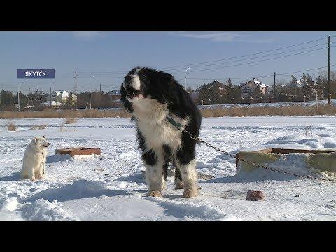 Якутская лайка получила звание «Гордость России» на международной выставке собак