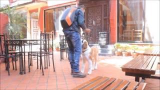 Dog Training - Bernie the Saint Bernard ( 4 months old)