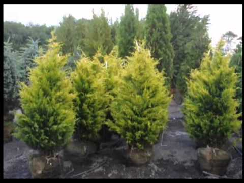 Craigslist add For Fast Growing Cypress Trees Central NJ