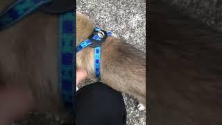琉球犬とアイヌ犬のハーフの子犬のヒサくん。 足元がしっかりしており、...