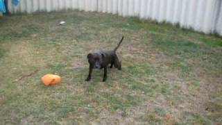 Toilet trained Staffy x Mastiff