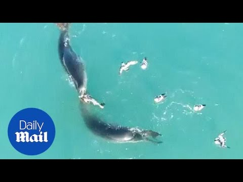 Seals Share Food As They Eat Penguin In Attenborough Documentary