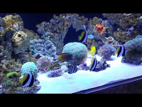 Sail fin tang schooling with banner fish