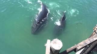 Whales in San Simeon