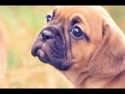 Puggle Puppies Chevromist Kennels