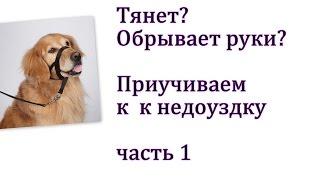 Как приучить собаку к недоуздку