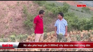 Kẻ xấu phá hoại gần 5,000m2 cây dứa của một nông dân | Truyền Hình - Báo Tuổi Trẻ