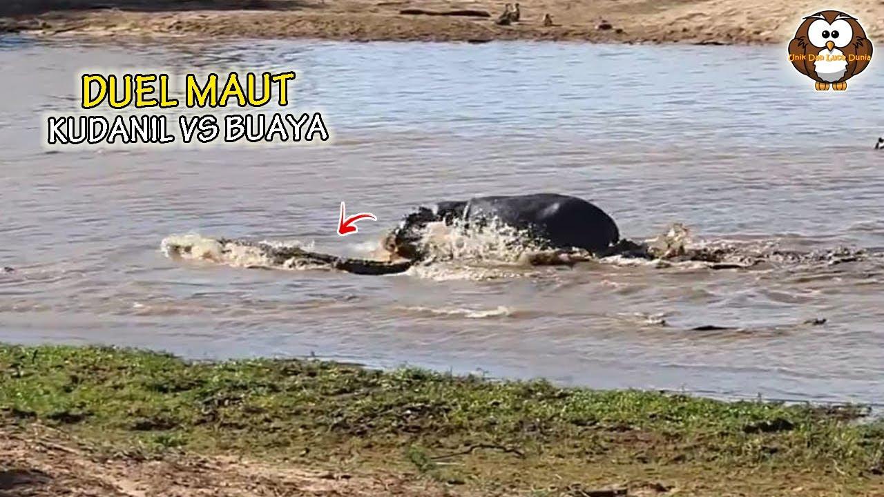 Kuda Nil ini Terekam Kamera Mendadak Serang Buaya Dengan Briingas, Ternyata ini Penyebabnya..