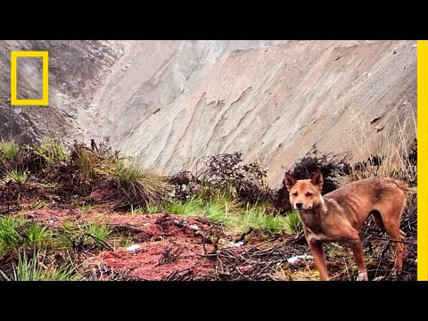 Ancient Wild Dog Population Feared Extinct, Now Captured on Camera | National Geographic