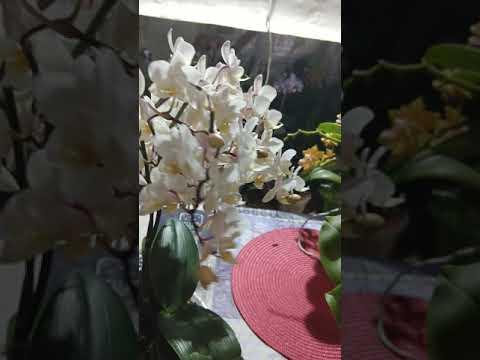 Орхідея фаленопсіс софт клауд Soft Cloud