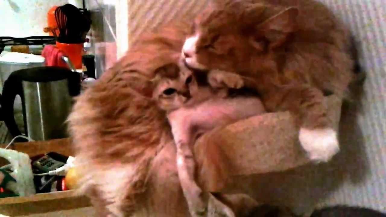 Maine Coon with Singapura kittens - YouTube