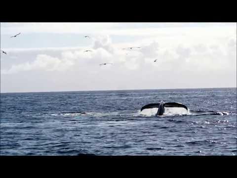 Humpback whale watching in West Cork - video of bubble net feeding