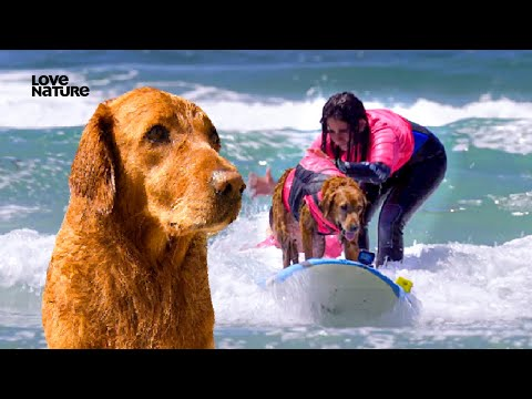 This Dog Helps Veterans Cope with PTSD | Surfing Golden Retriever Ricochet | Love Nature