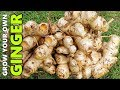 How to Grow GINGER In Beds, Containers & Different Climates