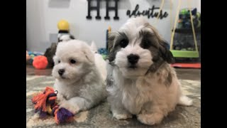 Avery and Charlie Heavenly Havanese Puppies  2020