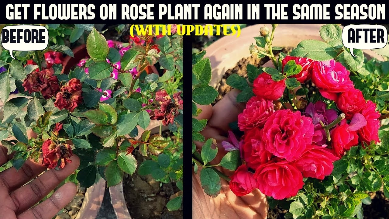 How To Get Roses To Re Bloom 100 Result With Updates Youtube