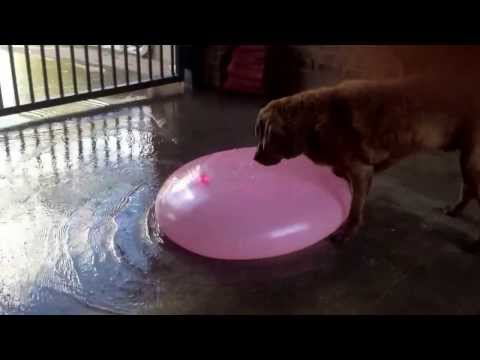 Gigantic water balloon popped by a dog