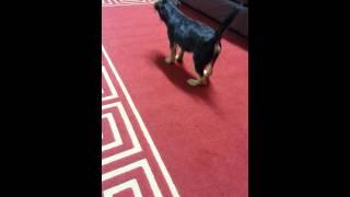 Border Terrier Barking
