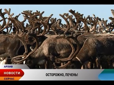 В печени и почках северного оленя обнаружены диоксины и тяжелые металлы