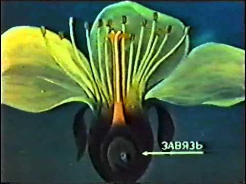 Оплодотворение цветковых растений