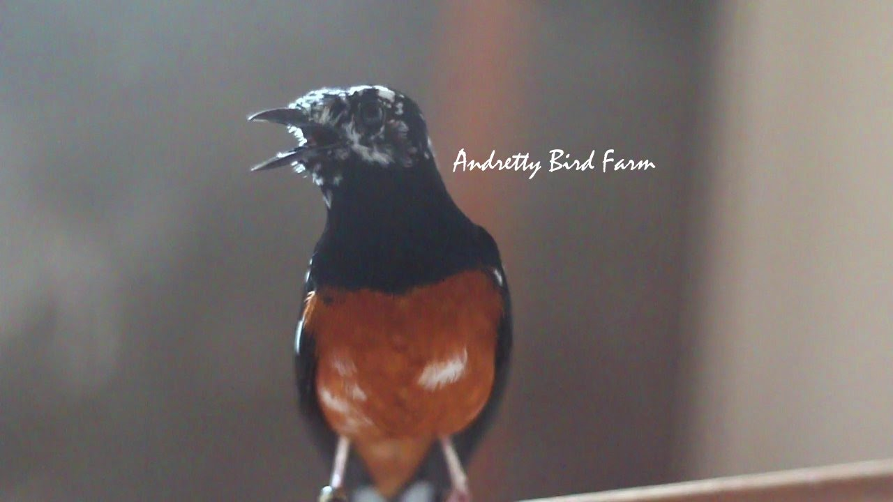 Grebek Markas Andretty Bird Farm Ternak Murai Batu Blorok Unik Langka Anakan Trah Juara Youtube