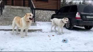 Горные собаки Грузии