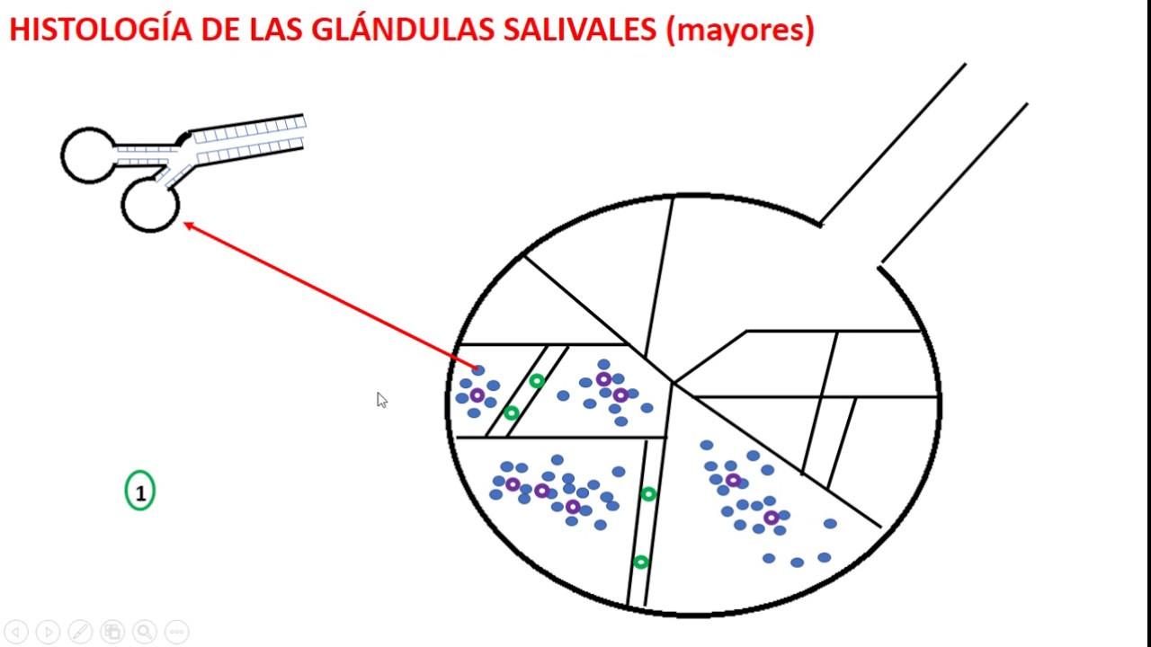 Mayores glandulas histologia salivales