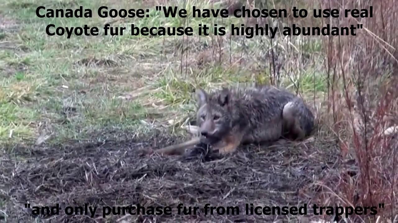 canada goose coyote