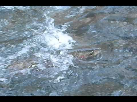 Fishing the hoh river for steelhead youtube for Hoh river fishing report